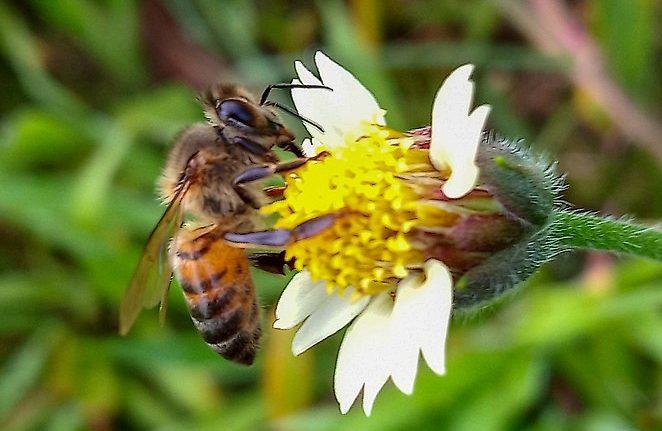 Les députés européens bloquent une décision affaiblissant la protection des abeilles contre les pesticides