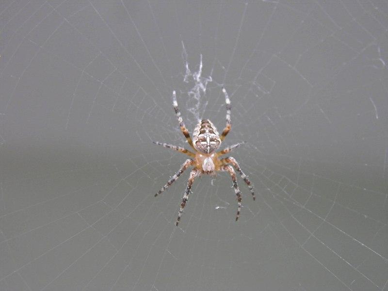 Six-cents espèces d'araignées à découvrir en Savoie