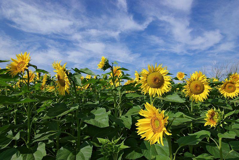 Des faucheurs volontaires détruisent des cultures de tournesol muté naturellement à Saint-Exupéry (Rhône)