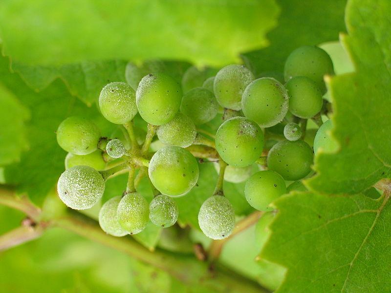 Bayer : une solution de biocontrôle contre l'oïdium de la vigne