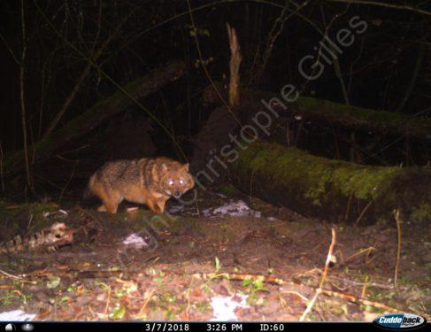 Le Chacal doré identifié en Haute-Savoie ( Photo C.GILLES Frapna)