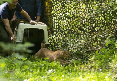 Un jeune lynx soigné puis relâché dans l'Ain