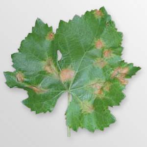 Plasmopara_viticola_000, entraine des dégâts sur les feuilles mais aussi sur les fruits ( photo DR)