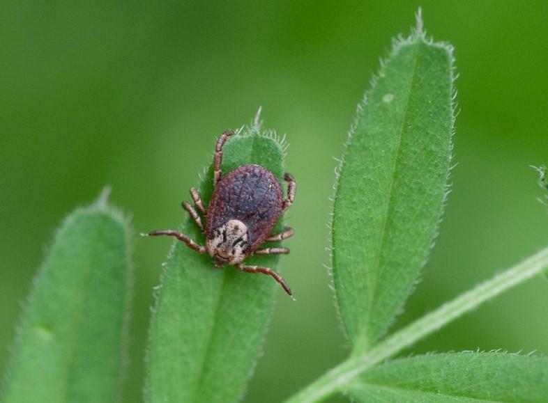 Tiques, maladie de Lyme: les forêts d'Auvergne-Rhône-Alpes concernées