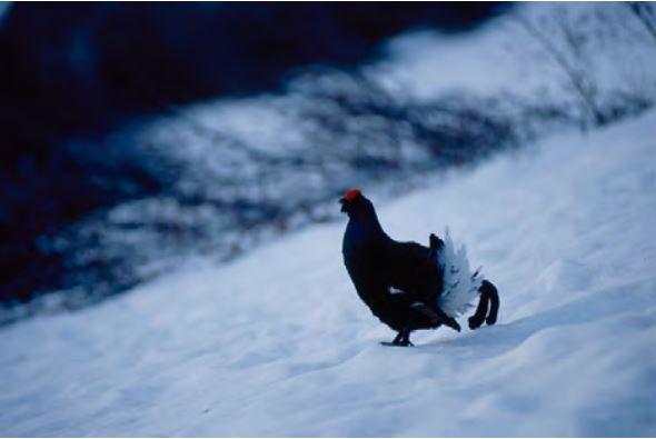 Birdski, un projet européen pour préserver les oiseaux en domaine skiable